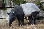 Tapirus indicus portrait 1.jpg