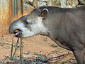 Tapirus terrestris zoo sp.jpg
