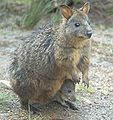 Tasmanian-pademelon-and-joey.jpg