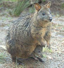 Tasmanian Pademelon Wikipedia