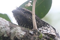Tawny Frogmouth (Podargus strigoides) up-close at Namang Village, Central Bangka, Indonesia.JPG