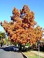 Taxodium distichum growing as a street tree (1).jpg