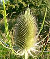 Teasel at Orley Common - geograph.org.uk - 893828.jpg