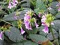 Tetranema roseum - JBM.jpg