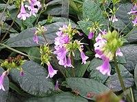 Tetranema roseum - JBM
