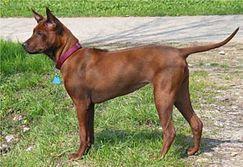 สุนัขพันธุ์ไทยหลังอาน