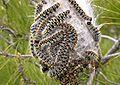 Thaumetopoea pityocampa larva02.jpg