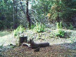 Fil:The-Role-of-Scent-Marking-in-Mate-Selection-by-Female-Pumas-(Puma-concolor)-pone.0139087.s002.ogv