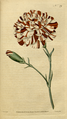 The Botanical Magazine, Plate 39 (Volume 2, 1788).png