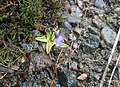 The Common Butterwort or Bog Violet. - geograph.org.uk - 455135.jpg