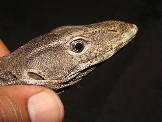 Bengal monitor - Head of the adult V. bengalensis, Ezhimala, Kerala, India
