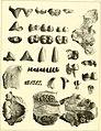 The ancient fauna of Nebraska- a description of remains of extinct mammalia and chelonia, from the Mauvaises Terres of Nebraska (1853) (14594966849).jpg