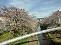 The cherry trees along the Saho River.jpg