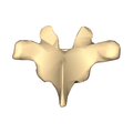 Thoracic vertebra 5 close-up posterior surface.png