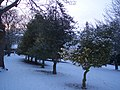 Three Holly Trees in Town Hall Gardens - geograph.org.uk - 1671878.jpg