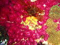 Three colours of soft corals at the Romelia PC194025.jpg