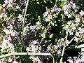 Thymus serpylloides FlowersCloseup SierraNevada.jpg