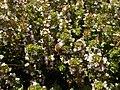 Thymus vulgaris 2020-06-06 9349.jpg