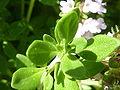 Thymus x citriodorus 'Lemon Thyme' (Labiatae) leaves.JPG