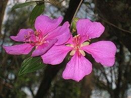 Tibouchina pulchra - Jardim Botânico de São Paulo - IMG 0325