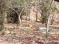 Tiger image38.jpg