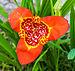 Tigridia pavonia I.jpg
