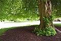 Tilia cordata in Christchurch Botanic Gardens 03.jpg