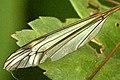 Tipula.luna.wing.detail.jpg