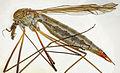 Tipula submarmorata female, Abergwynant, North Wales, May 2015 (23080704589).jpg