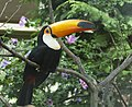 Toco toucan london.jpg