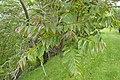 Toona ciliata kz02.jpg