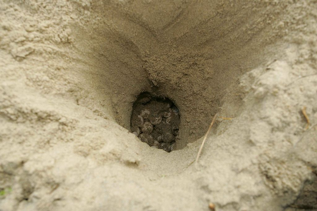File:Top view of a loggerhead sea turtle nest.jpg - Wikimedia Commons