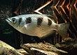 List of brackish aquarium fish species - Wikipedia