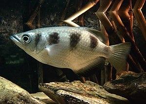 Archerfish - Toxotes jaculatrix