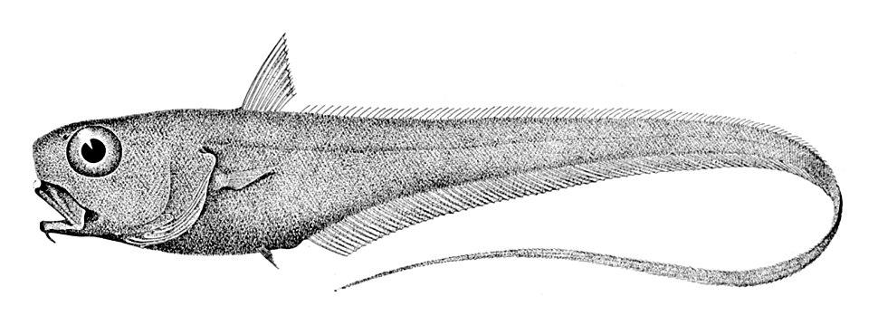 Trachonurus sulcatus