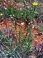 Tragopogon dubius Habitus 19April2009 DehesaBoyalPuertollano.jpg