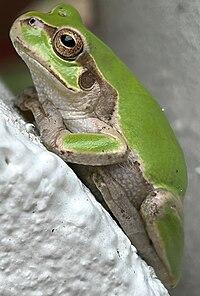 Tree frog2.jpg
