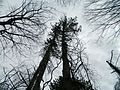 Trees at Roaring Brook Park. - panoramio.jpg