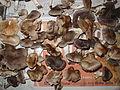 Tricholoma sppl.jpg