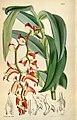 Trichotosia vestita (as Eria vestita) - Curtis' 95 (Ser. 3 no. 25) pl. 5807 (1869).jpg