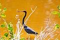 Tricolored heron (18559213473).jpg