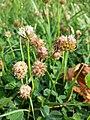 Trifolium fragiferum (subsp. fragiferum) sl46.jpg