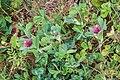 Trifolium incarnatum in Aveyron (9).jpg
