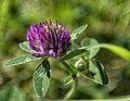 Trifolium pratense (14525515213).jpg