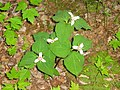 Trillium undulatum Parc national de la Mauricie.JPG