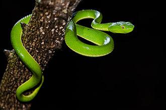 Trimeresurus - Image: Trimeresurus vogeli, Vogel's Pit Viper (juvenile) Khao Yai National Park 01
