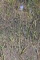 Triteleia grandiflora 9542.JPG