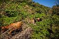 Tropeiros tocam o gado no Canyon Realengo.jpg
