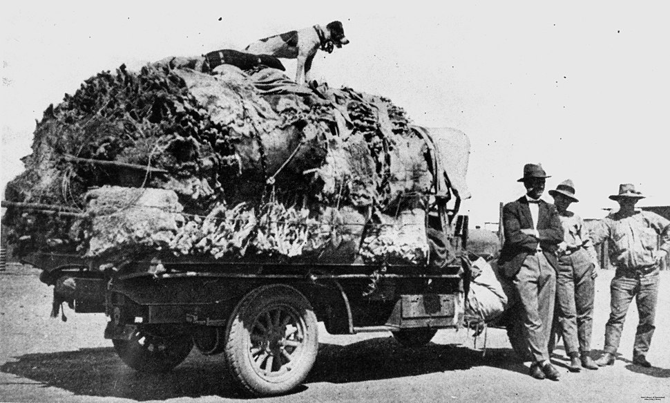 Truck load of koala skins in the Clermont area, ca 1927