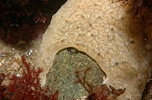 Tunicate colony of Didemnum vexillum overgrowing gravel.JPG